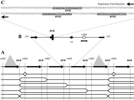 Abundance Of Fob1 Modulates The Efficiency Of Rrfbs To Stall