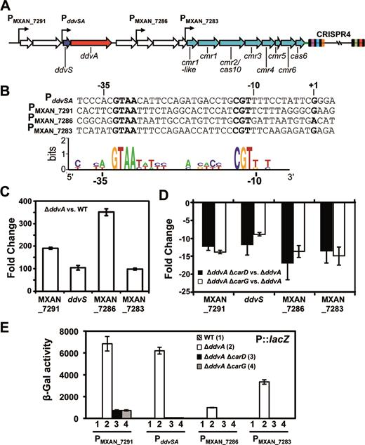 Multifactorial control of the expression of a CRISPR-Cas system by ...