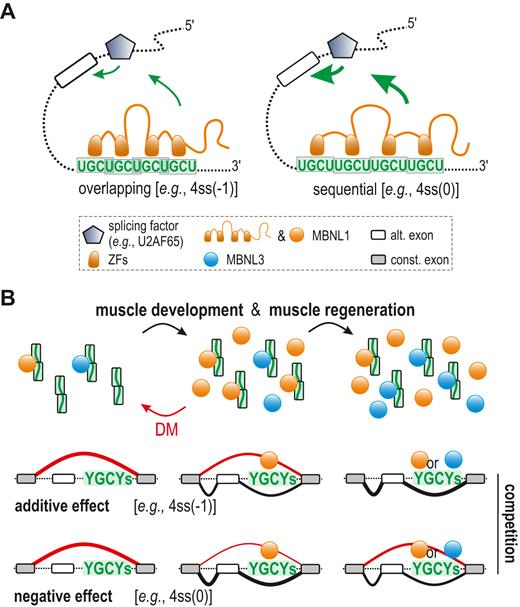 RNA Regulatory Element Organization Influences The Outcome