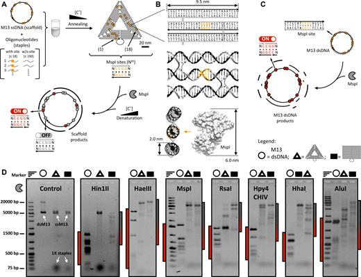 Binary Control Of Enzymatic Cleavage Of Dna Origami By Structural