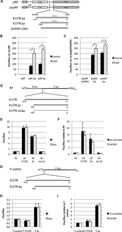 Cold-inducible RNA-binding protein (CIRP) induces translation of the ...