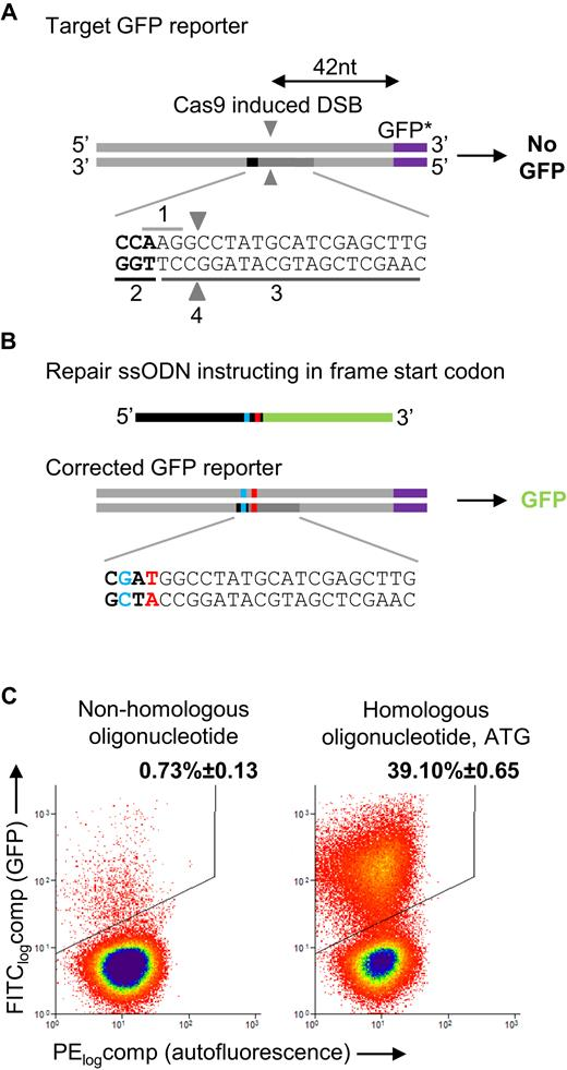 DNA mismatch repair and oligonucleotide end-protection promote base ...