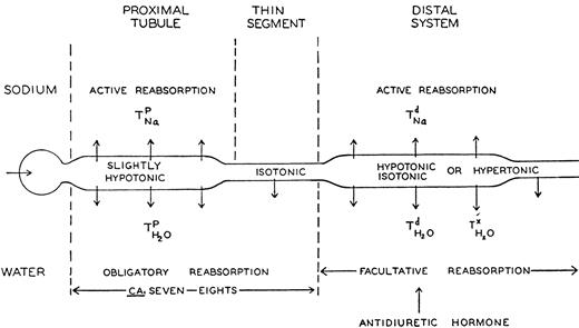Loop Of Henle A Turning Point In The History Of Kidney Physiology