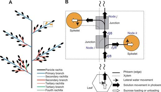 Mathematical Model Of Phloem Sucrose Transport As A New Tool For